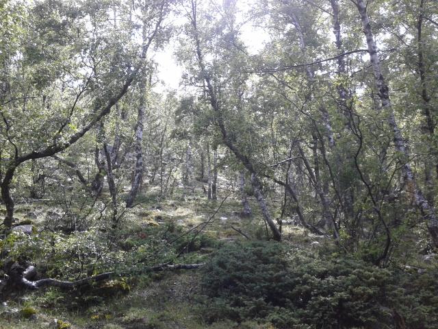 Birch forest after rain